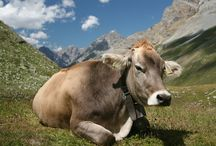 About cows / Information about cattles, cows all over the world, cow breeds, wonderful animal, Bovini, Bos Taurus, Bos Indicus, Bos Primigenius