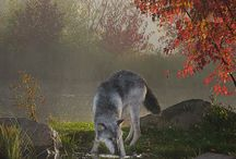 Amazing pictures of wolves