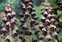 PLANTS_Arid bulbs