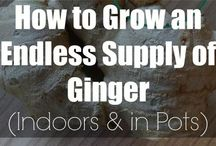 grow ginger