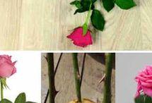 укореняем розу