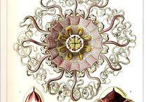 Ernst Haeckel Эрнст Генрих Геккель / Эрнст Ге́ккель (1834—1919) — немецкий естествоиспытатель и философ. Опубликованные произведения искусства Геккеля включает в себя более 100 подробных иллюстраций животных и морских существ