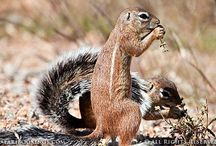 z Animals Rodentia: Mice, rats, squirrels,  Guinea pigs,  hamsters,  prairie dogs,  porcupines,  beavers