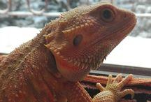 lizard agama vousata