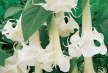 Brugmansia & Datura / by Kathy Johnson