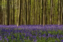 Hallerbos bluebell forest / Bluebell fields in Brussels beautiful Hallerbos forest prints available from https://crated.com/kristoflauwers/galleries/13125/brussels-bluebell-forest