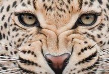 Leoparlar