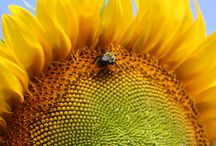 Sunflower Community / We've given away sunflower seeds to people to help support honeybees, butterflies, hummingbirds and bats. We asked them to share their photos. People are awesome!
