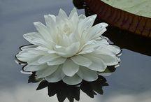 Wasser Lilien