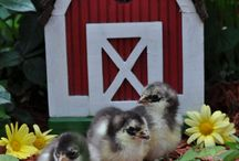 New breeds for 2016 / Chickens