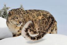 Panthera uncia (Uncia uncia)