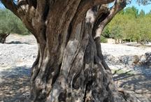 Olijfboom inspiratie / Aanshouw de schoonheid van deze oeroude pareltjes: olijfbomen. Zelf een olijfboom kopen? Kijk dan eens hier: https://www.warentuin.nl/zaden-planten/bomen-struiken/mediterrane_plant/.