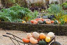 Harvesting pumkins / Harvesting pumkins