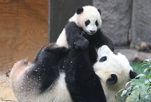 animals (PANDAS!!!) / by Sandy H