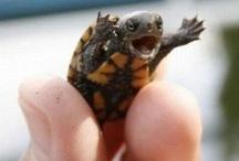 I <3 Turtles