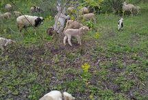 köyden koyunculuk / Damızlık koyun & kuzu