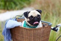 pugs and more