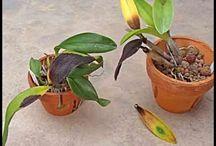 apodrecimento de orquídeas