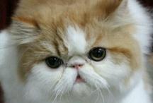 Persian & Exotic Cat