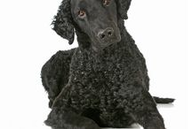 Curly Coated Retriever / Coated Retriever is one of the oldest retriever breeds, but not much is known about its origins. First appearing at an English dog show in the 19th century, the Curly Coated Retriever is believed to have derived from the ancient English Water Spaniel, the St. John's Newfoundland and the Poodle. See more at: http://www.noahsdogs.com/m/dogs/breed/Curly-Coated-Retriever#sthash.SaTotLeB.dpuf www.NoahsDogs.com