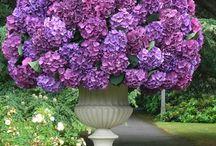 Garden / Hortensja
