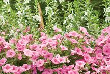 National Plant of the Year / We are proud to announce the plants that have been chosen by our customers as being the best of the best for 2017, Supertunia Vista Bubblegum Petunia, Amazing Daisies 'Banana Cream' Leucanthemum and Yuki Cherry Blossom Deutzia.   Learn more at nationalplantoftheyear.com