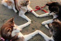 cute husky's