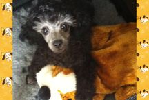 Milou ~ Feeorins Courtin' In The Kitchen / My wonderful litte dwarf poodle silverprince Milou, born 21. august 2014