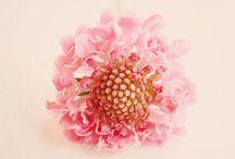 Flowers, kukkia / Scabiosa