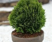 Evergreen Conifers for Pots