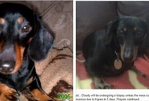 Cloudy look -a-likes / Cloudy is in here as well as other black & tan doxies that remind me of him.