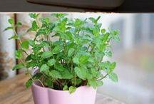 Grow herbs in door