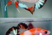 Peixes de Água Doce - Betta
