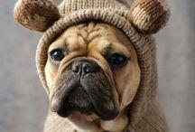 frz Bulldogge