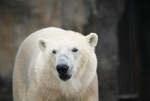 Vicks polarbear Rotterdam zoo Blijdorp