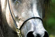 Konie Arabskie / Kocham konie.