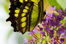 Butterflys / Butterflys
