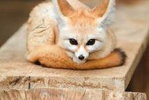 Fenned fox