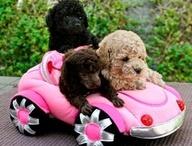 Love Poodles