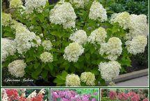 Hortensja. Hydrangea / Garden
