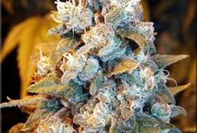 Dankness / A collection of the highest quality cannabis strains.