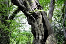 Old twisted trees
