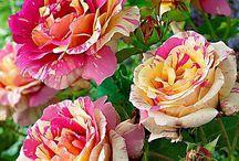 Gardening / Roses