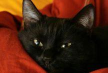 chats noir
