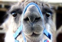 Llama's <3