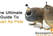 Quail As Pets