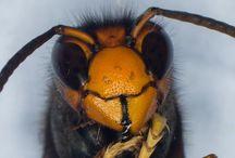 Frelon Asiatique / Colléction d'articles sur ce féroce prédateur des abeilles