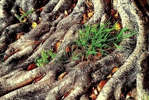 Roots / Tree roots