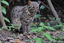 Cat ❤️ Tushima Leopard Cat