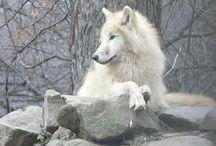 Wolves ref